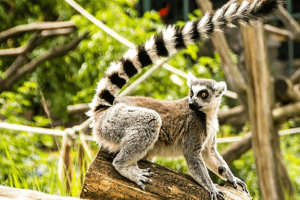 Lemur-with-a-long-tail